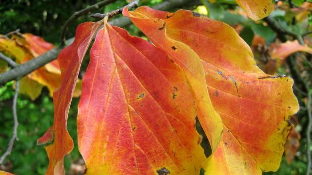 Parotia persica: Jesenji vatromet boja u vrtu - © Wikimedia