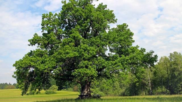 Lužnjak i fastigiata: Dve vrste hrasta za velike i male vrtove - © Pixabay