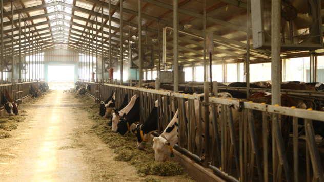 Goveda u štali - ©Agromedia