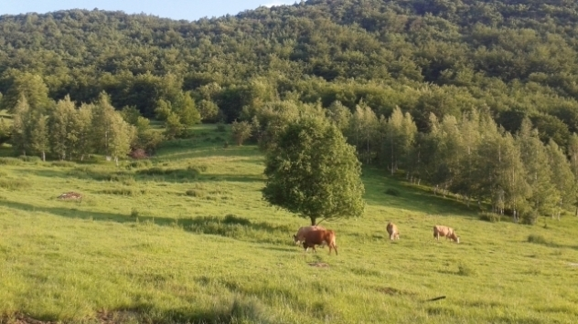 ©Agromedia-goveda na pašnjaku