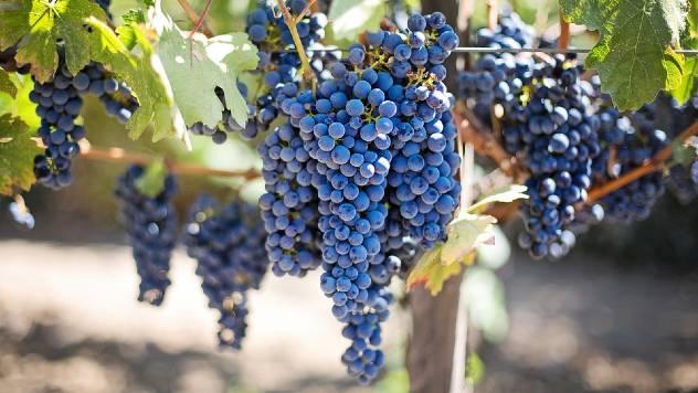 Saveti za početnike: Kako da gajite grožđe u svom dvorištu - © Pixabay