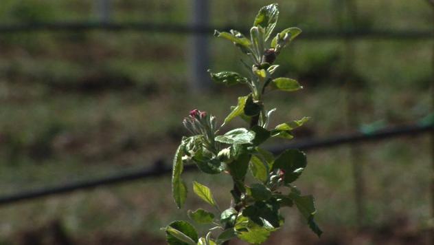 Zasad jabuke - ©Agromedia