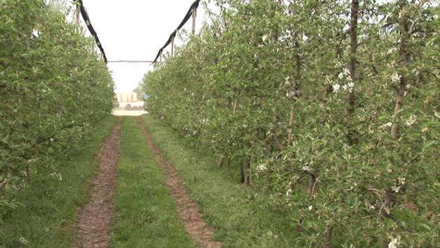 Zasad jabuka - ©Agromedia