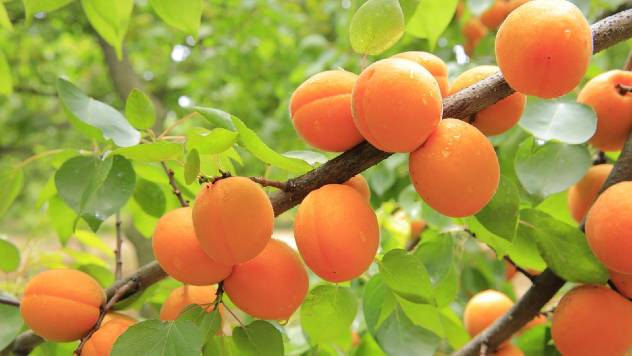 Kajsija: Jeftinija za uzgoj od drugih voćnih vrsta - © Pixabay