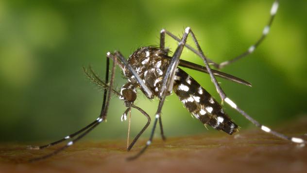 Tigrasti komarac - wikipedia.org