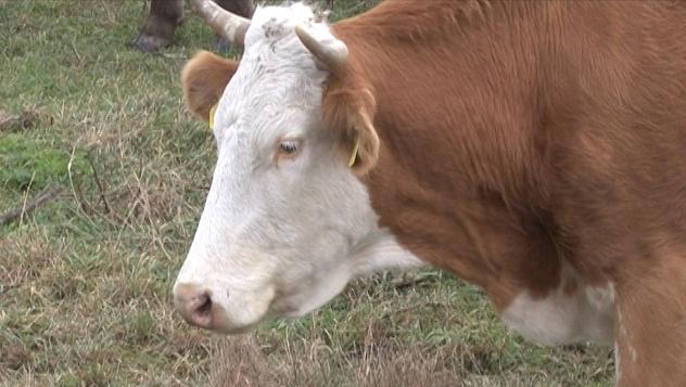 Krava na ispaši - @Agromedia