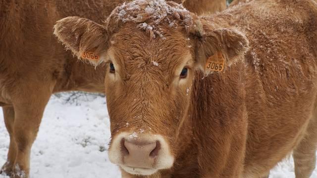 Štetan uticaj hladnoće na produktivnost stoke i kako ga smanjiti- © Pixabay