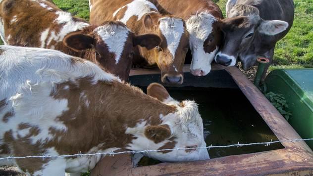Šta nam krava poručuje svojim ponašanjem - © Agromedia