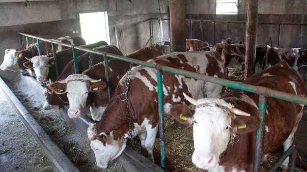 krave - foto: Mirjana Stepić