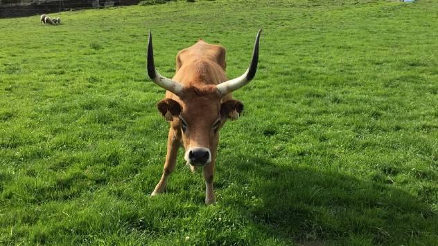 Kako da smirite uznemirene krave - © Pixabay
