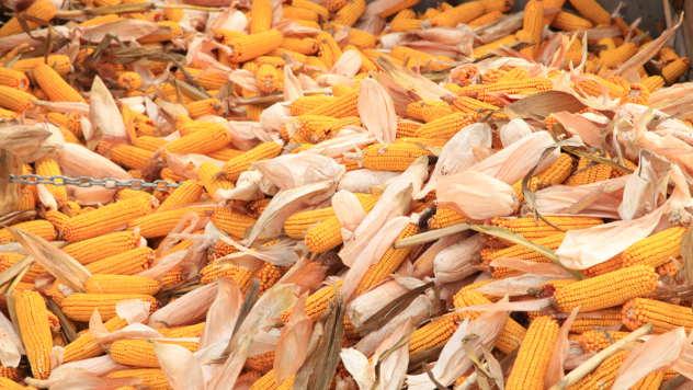 Klipovi kukuruza - ©Agromedia