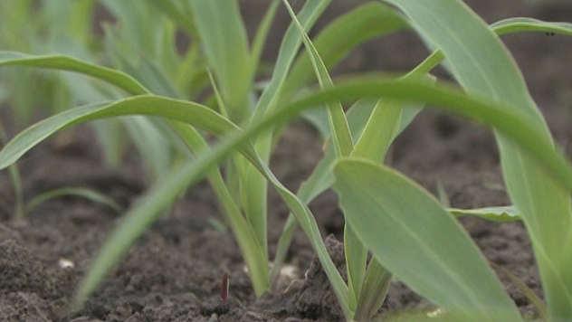 Kukuruz u njivi - ©Agromedia