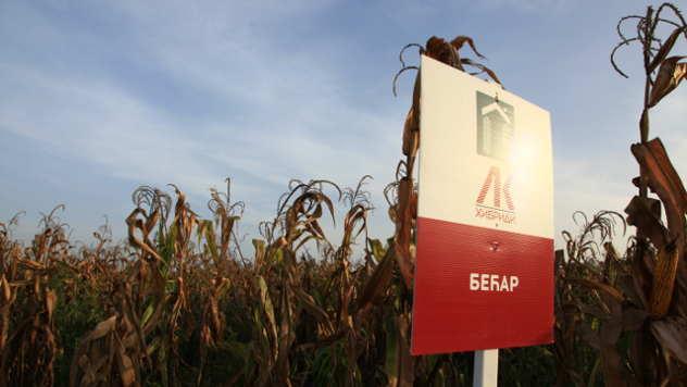 Hibrid kukuruza Bećar - ©Agromedia