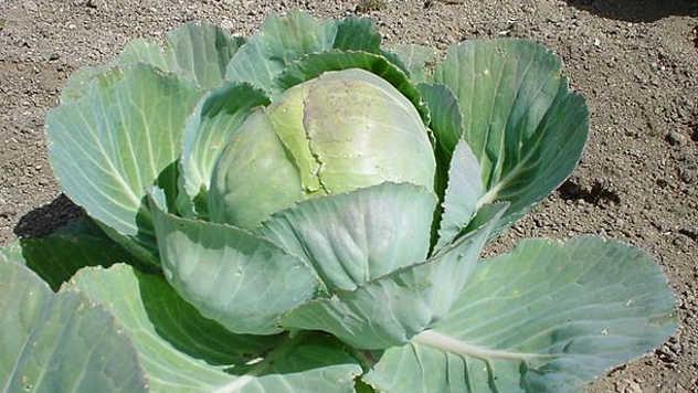 Kupus je biljka koja može odlično da sarađuje i sa paradajzom i s mirođijom - © Agromedia