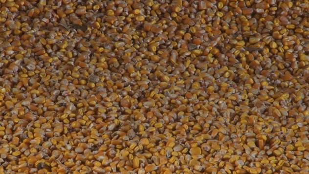 Zrno hibrida kukuruza kompanije KWS - © Agromedia