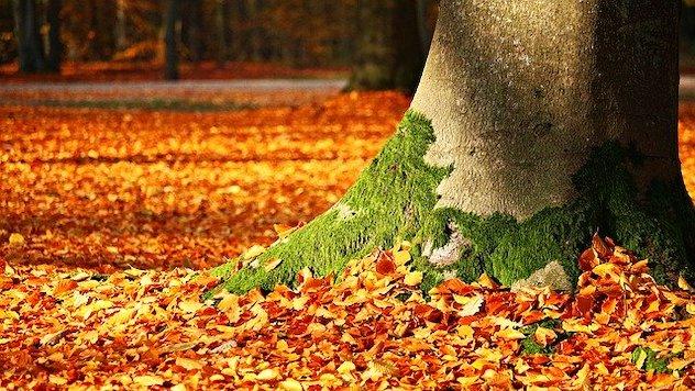 mahovina drvo lisce jesen