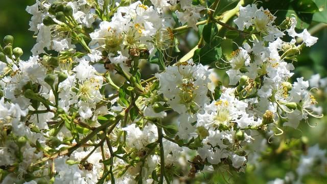 Kako se gaji mirta: Lekoviti grm opojnog mirisa - © Pixabay
