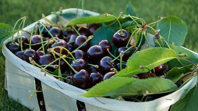 Ukoliko želite da budete uspešni u gajenju višnje odaberite odgovarajući tip zemljišta - © Pixabay