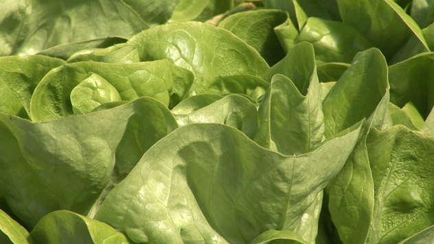 Organska salata - © Foto: Agromedia