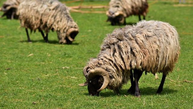 ovce na ispaši-©Pixabay