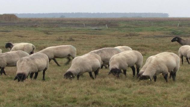 Safolk ovce - ©Agromedia