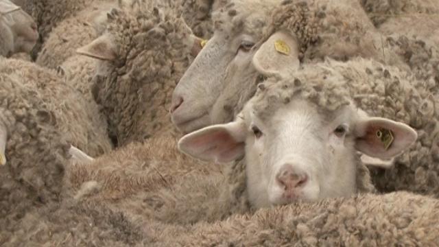 Ovce - ©Agromedia