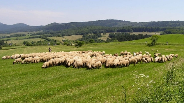 Stado ovaca - ©Agromedia