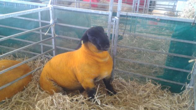 Safolk ovca u Engleskoj - ©Agromedia