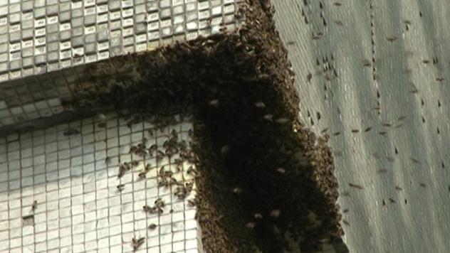 Roj divljih pčela na Novom Beogradu - ©Agromedia
