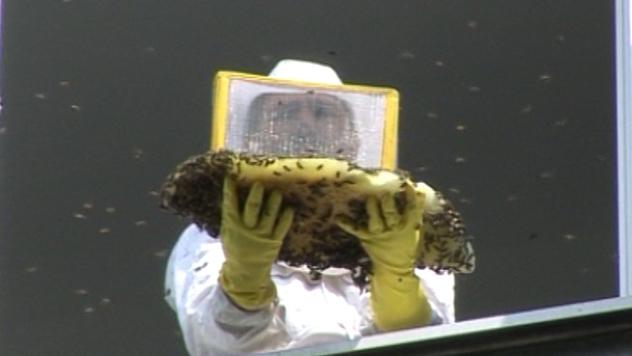 Uklanjanje roja divljih pčela na Novom Beogradu - ©Agromedia