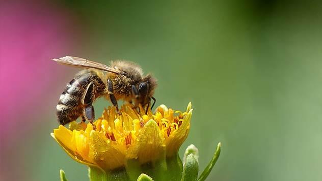 Gradske pčele sve teže dolaze do hrane © Pixabay