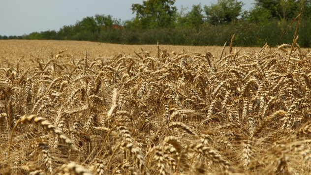 Polje pšenice - ©Agromedia