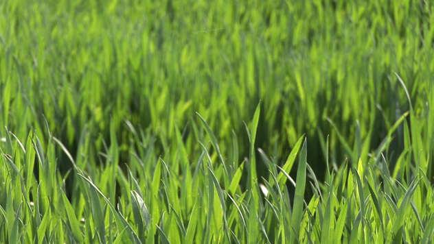 Pšenica u polju - ©Agromedia