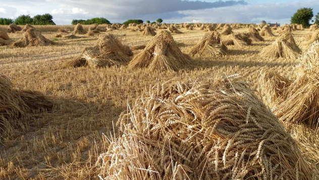 Pšenica u polju - ©Pixabay