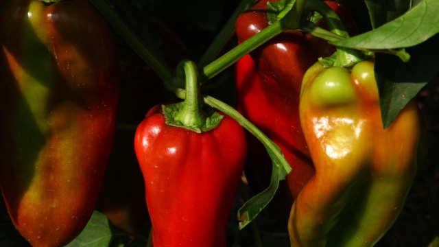 Paprike u polju - ©Agromedia