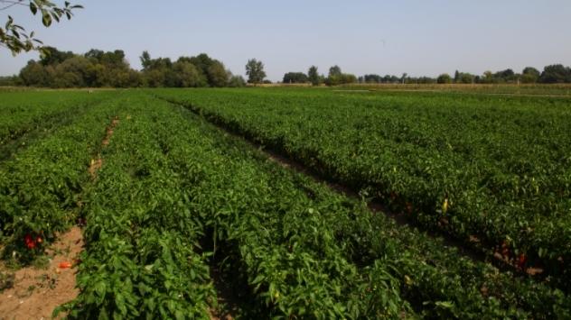 Paprika u polju - ©Agromedia