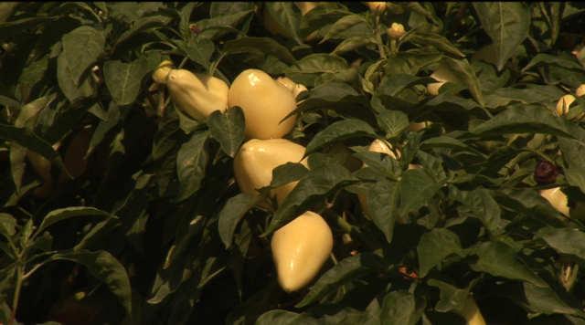žute paprike u polju - foto: @Agromedia