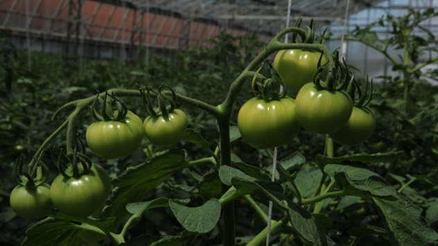 Hibrid paradajza la moneda - @Agromedia