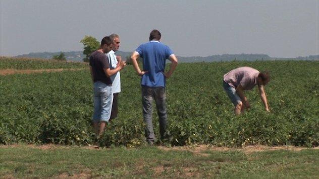 Tihomir Bojanić iz Čalme u polju paradajza - ©Agromedia