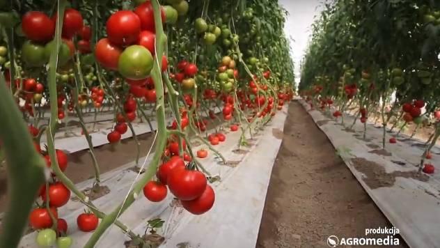 polovni traktor - © AgromediaIskusan povrtar savetuje: Kako ZARADITI od uzgoja povrća u plasteniku?