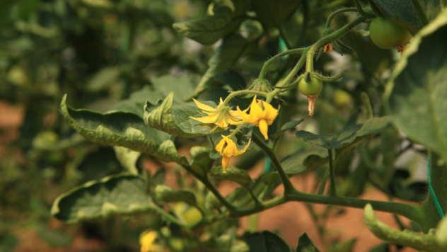 Cvet paradajza - ©Agromedia