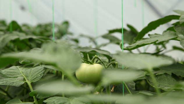 Zeleni plod paradajza - ©Agromedia