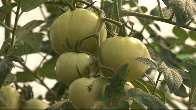 zeleni mladi paradajz - foto: @Agromedia