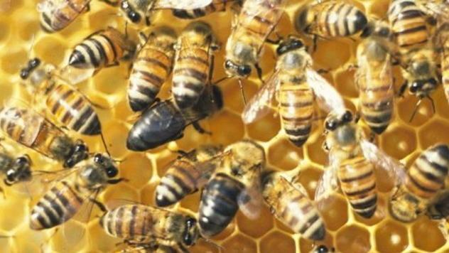 Pčela © Foto: all free downloade com.jpg