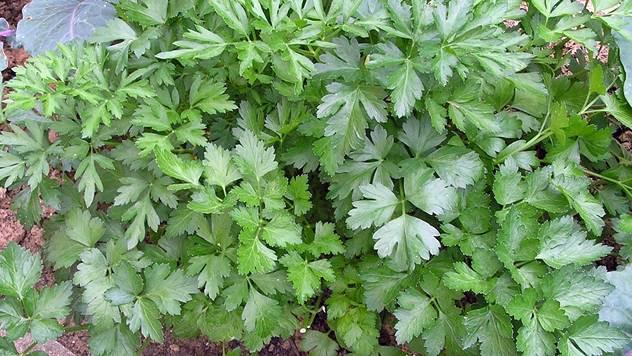 Trikovi iskusnih baštovana: Kako da brzo osušite origano i druge začinske biljke- © Pixabay