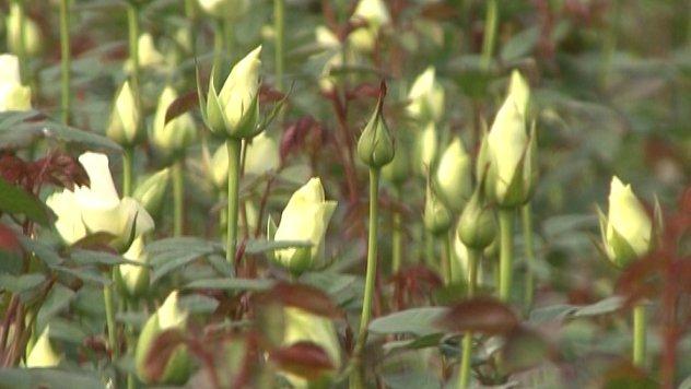 Ruže na Plantaži Mihailović