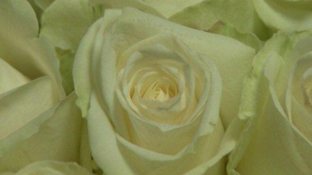 Ruža na Plantaži Mihailović