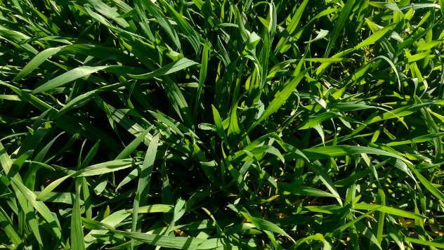Pšenica u polju - © Agrounik