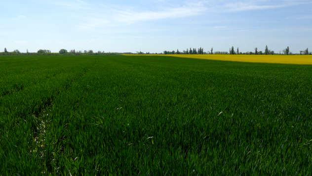 Usevi u polju - © Agrounik