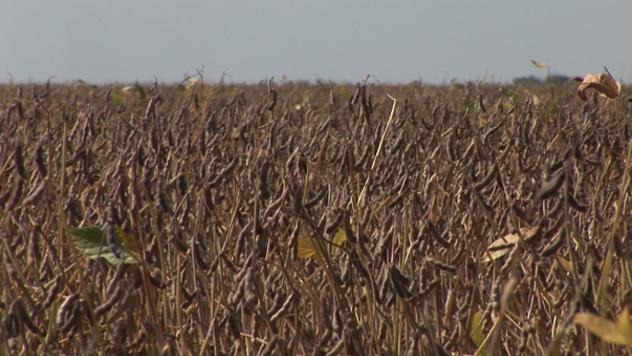 Soja u polju - ©Agromedia